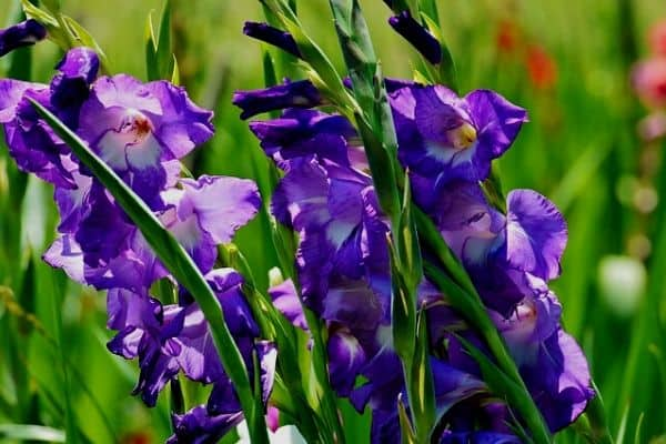 tall perennial flowers