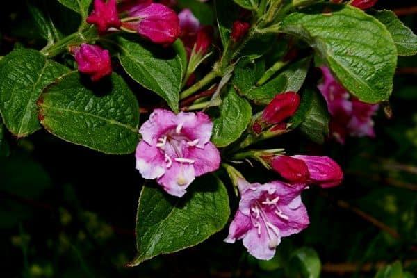 purple weigela flowers