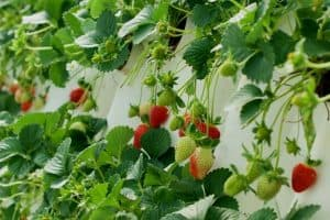 How To Grow Strawberries Vertically