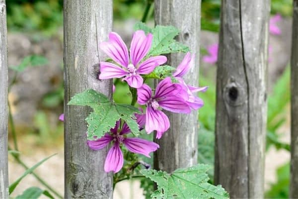 flowers climbing on a fence