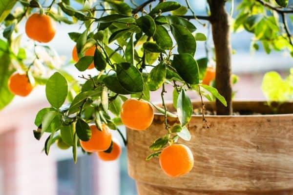 growing citrus tree in a pot