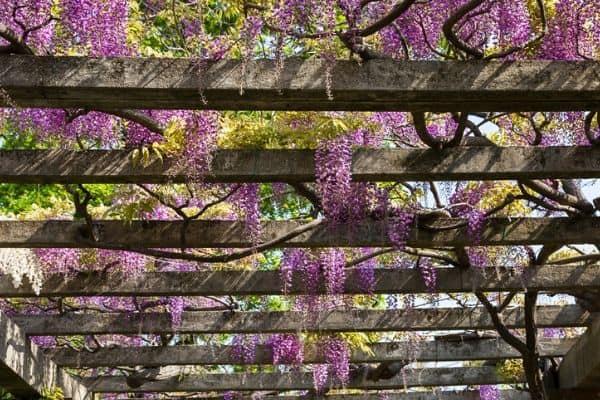 wisteria growing on pergola