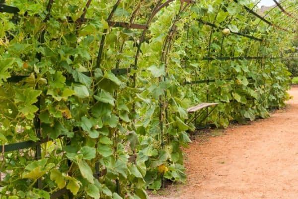 pumpkin vines in a vertical garden