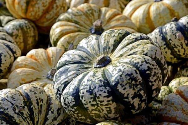 pumpkins grown vertically