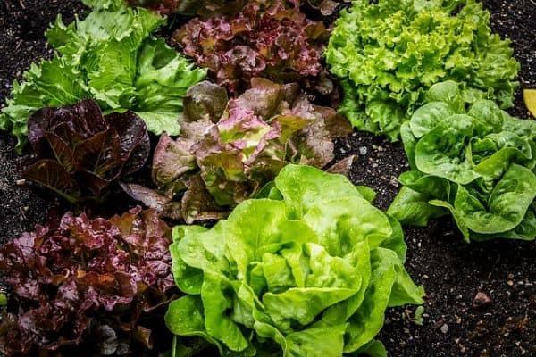 small lettuce plants