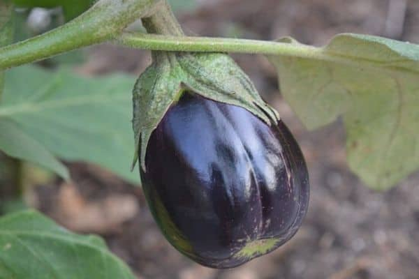 black vegetable plant