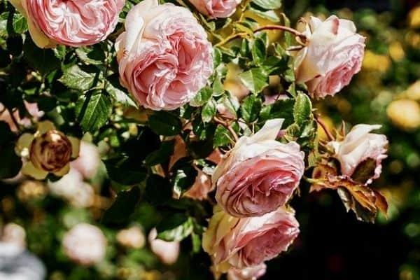 drooping rose bush