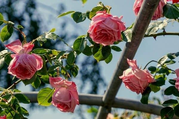 wilted rose bush