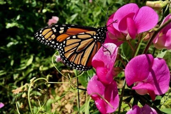 butterfly on sweet pea flowers