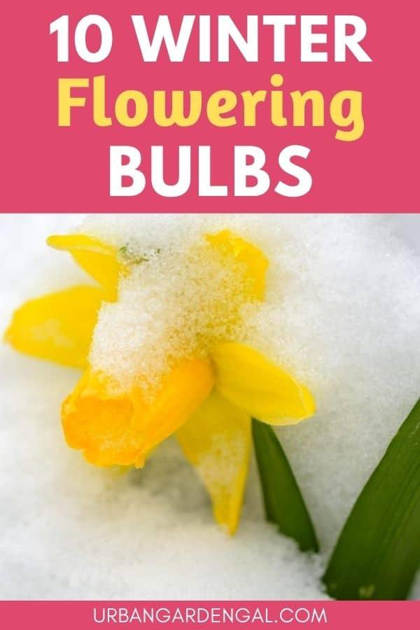 Winter flowering bulbs