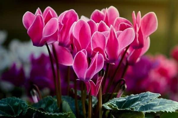 cyclamen flowers blooming in winter