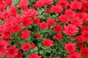 15 Red Flowering Shrubs