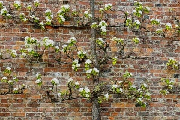 espaliered fruit tree
