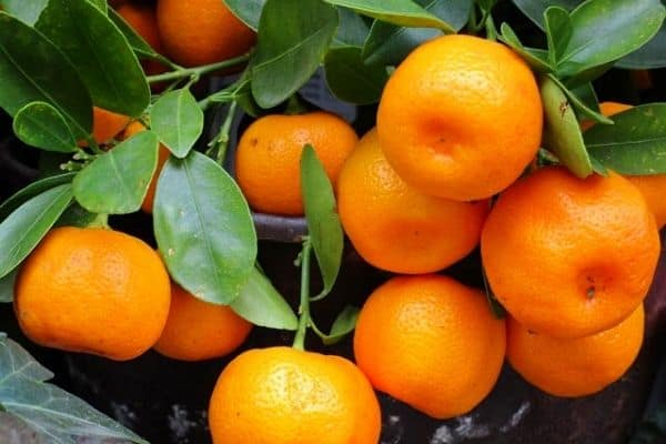 How To Grow Mandarin Trees In Containers