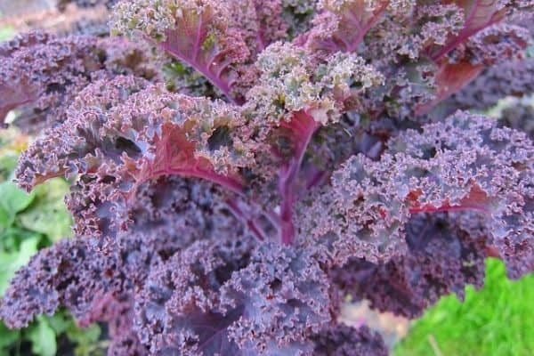 red kale plant