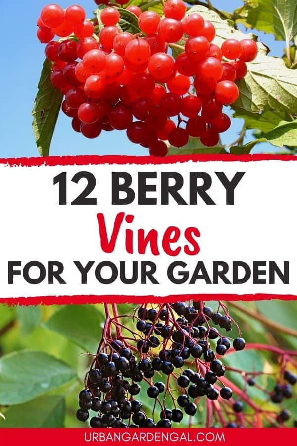 berry vines for your garden