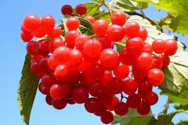 cranberry vine